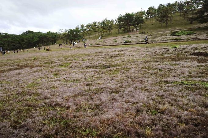 Đà Lạt vào mùa cỏ hồng ngày chớm đông - hinh 2