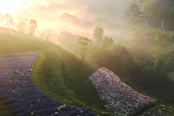 Cánh đồng hoa đẹp như trời Âu ở Đà Lạt - hinh 1