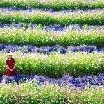 Cánh đồng hoa đẹp như trời Âu ở Đà Lạt