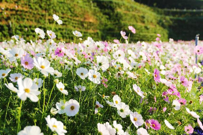 Cánh đồng hoa đẹp như trời Âu ở Đà Lạt - hinh 5