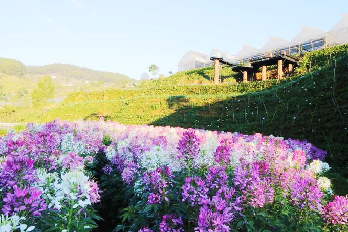 Cánh đồng hoa đẹp như trời Âu ở Đà Lạt - hinh 8